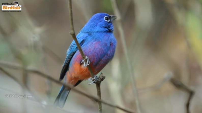Riviera Nayarit, birds, Bird Watching, Virtual Birdfair 2020