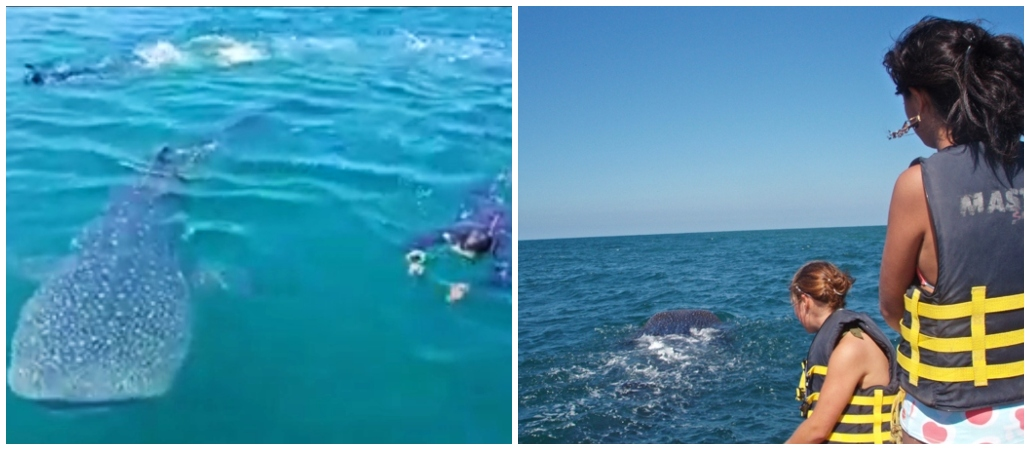 swimming whale sharks, Riviera Nayarit, extreme sports